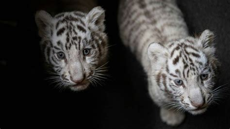 Albino tiger cubs born in China zoo: It's not awww