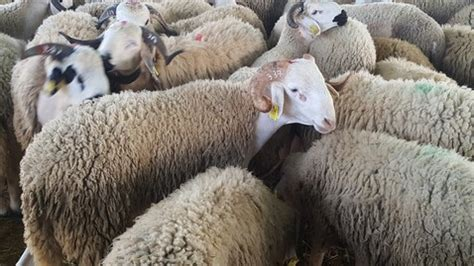Why Do Muslims Slaughter Sheep on the day of Eid Al Adha