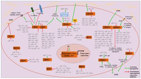 JCM | Free Full-Text | MicroRNA Regulation of Epithelial