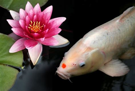 White Koi, Pink Lily   Koi with a red head patch are